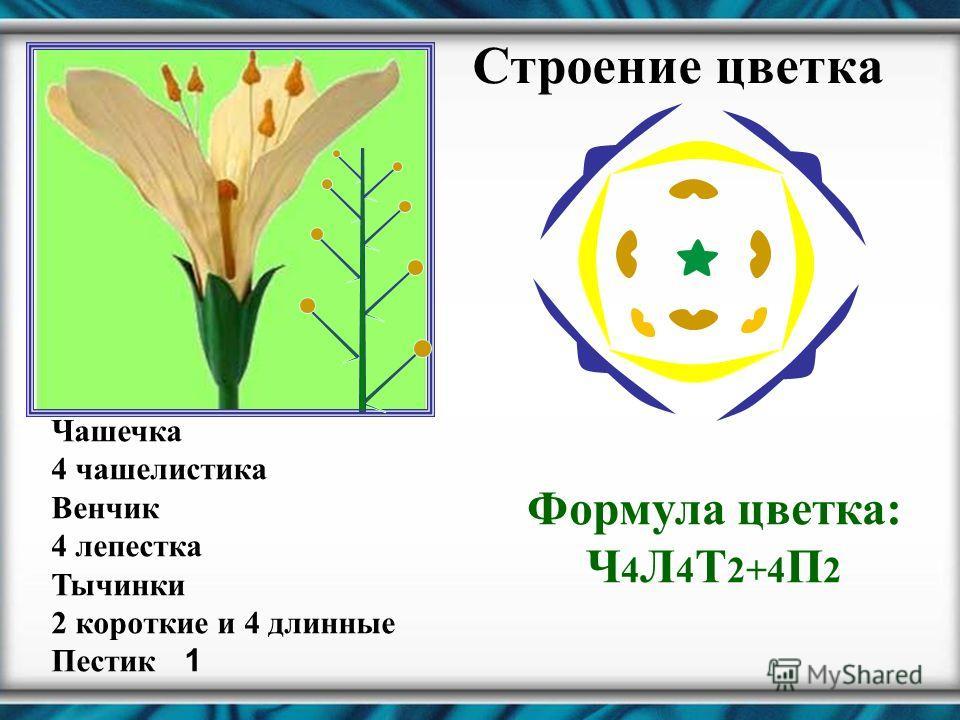 Строение цветка Чашечка 4 чашелистика Венчик 4 лепестка Тычинки 2 короткие и 4 длинные Пестик 1 Формула цветка: Ч 4 Л 4 Т 2+4 П 2
