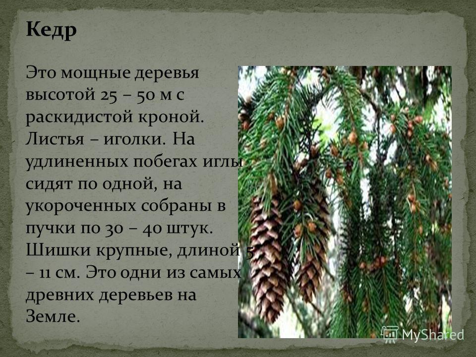 Кедр Это мощные деревья высотой 25 – 50 м с раскидистой кроной. Листья – иголки. На удлиненных побегах иглы сидят по одной, на укороченных собраны в пучки по 30 – 40 штук. Шишки крупные, длиной 5 – 11 см. Это одни из самых древних деревьев на Земле.
