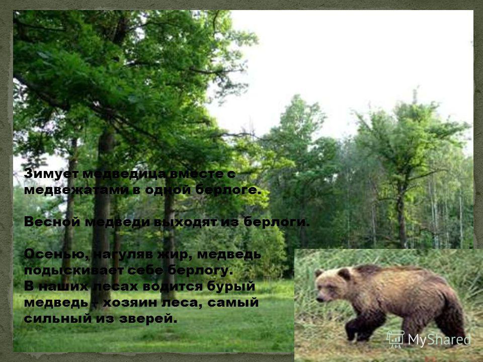 Зимует медведица вместе с медвежатами в одной берлоге. Весной медведи выходят из берлоги. Осенью, нагуляв жир, медведь подыскивает себе берлогу. В наших лесах водится бурый медведь – хозяин леса, самый сильный из зверей. Лесной хозяин, божественный х