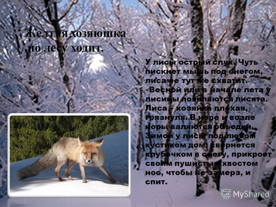 У лисы острый слух. Чуть пискнет мышь под снегом, лиса ее тут же схватит. Весной или в начале лета у лисицы появляются лисята. Лиса – хозяйка плохая, грязнуля. В норе и возле норы валяются объедки. Зимой у лисы под любом кустиком дом: свернется клубо