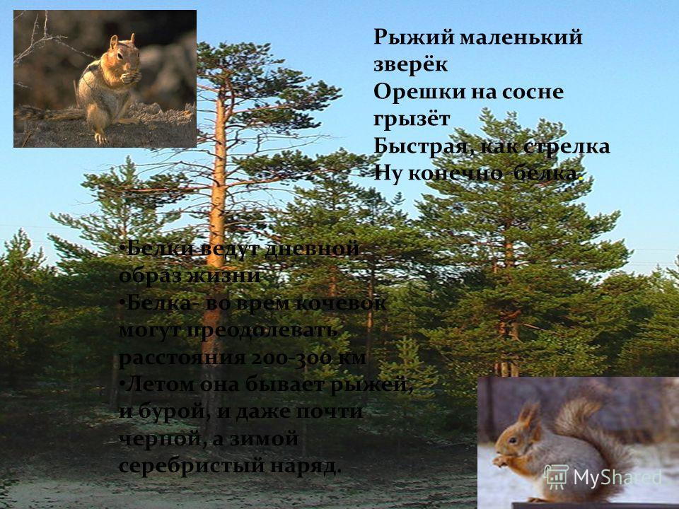 Белки ведут дневной образ жизни Белка- во врем кочевок могут преодолевать расстояния 200-300 км Летом она бывает рыжей, и бурой, и даже почти черной, а зимой серебристый наряд. Рыжий маленький зверёк Орешки на сосне грызёт Быстрая, как стрелка Ну кон