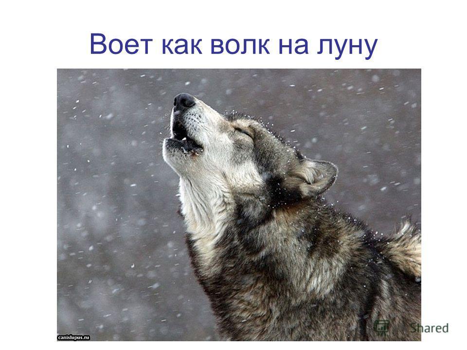 Воет как волк на луну