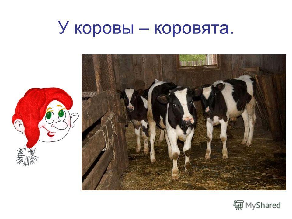 У коровы – коровята.