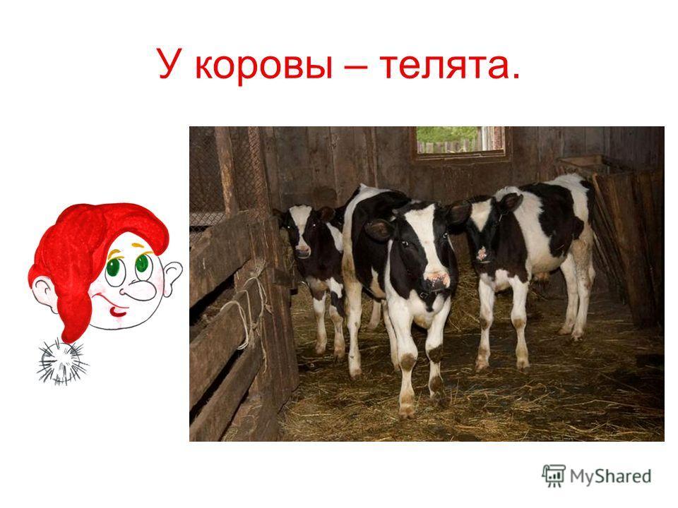 У коровы – телята.