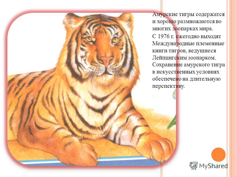 Амурские тигры содержатся и хорошо размножаются во многих зоопарках мира. С 1976 г. ежегодно выходят Международные племенные книги тигров, ведущиеся Лейпцигским зоопарком. Сохранение амурского тигра в искусственных условиях обеспечено на длительную п