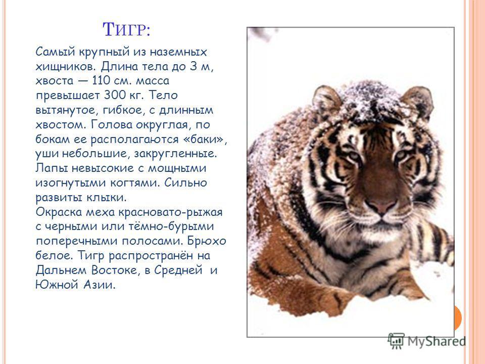 Самый крупный из наземных хищников. Длина тела до З м, хвоста 110 см. масса превышает 300 кг. Тело вытянутое, гибкое, с длинным хвостом. Голова округлая, по бокам ее располагаются «баки», уши небольшие, закругленные. Лапы невысокие с мощными изогнуты