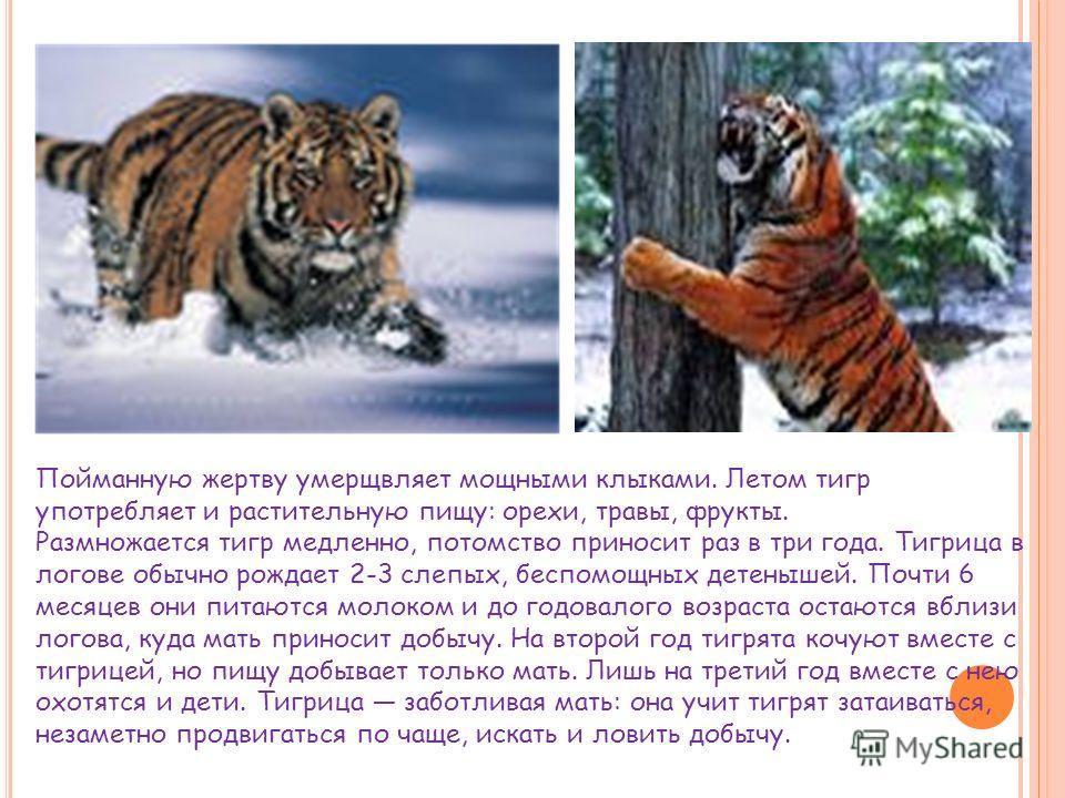 Пойманную жертву умерщвляет мощными клыками. Летом тигр употребляет и растительную пищу: орехи, травы, фрукты. Размножается тигр медленно, потомство приносит раз в три года. Тигрица в логове обычно рождает 2-3 слепых, беспомощных детенышей. Почти 6 м