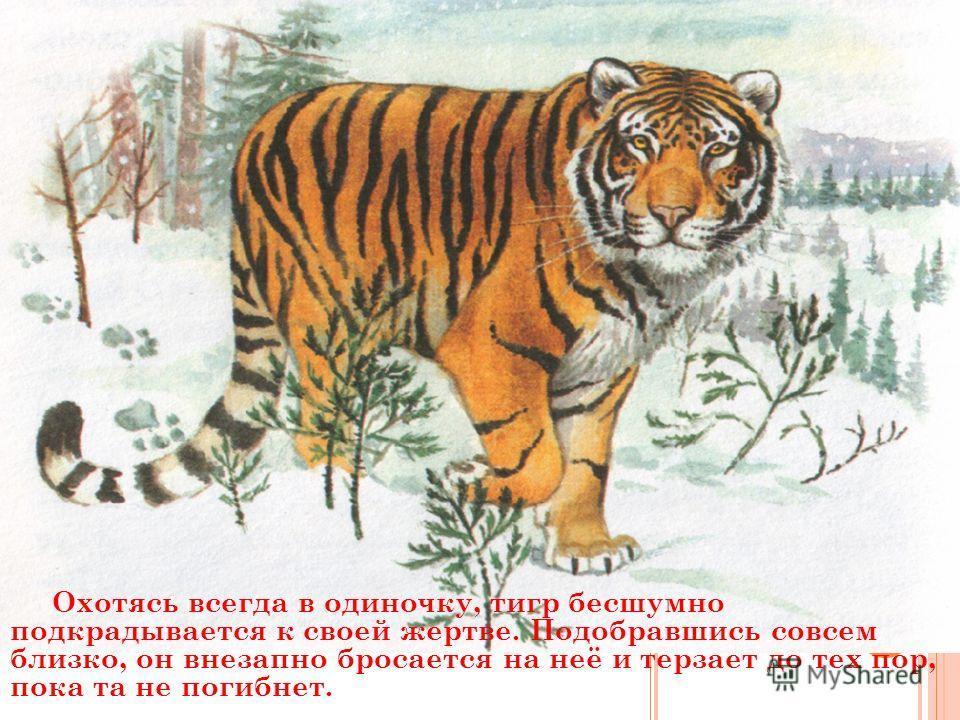 Охотясь всегда в одиночку, тигр бесшумно подкрадывается к своей жертве. Подобравшись совсем близко, он внезапно бросается на неё и терзает до тех пор, пока та не погибнет.