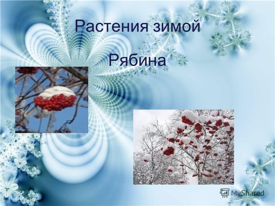 Растения зимой Рябина