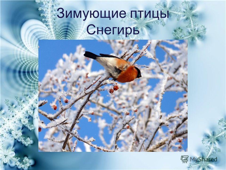 Зимующие птицы Снегирь