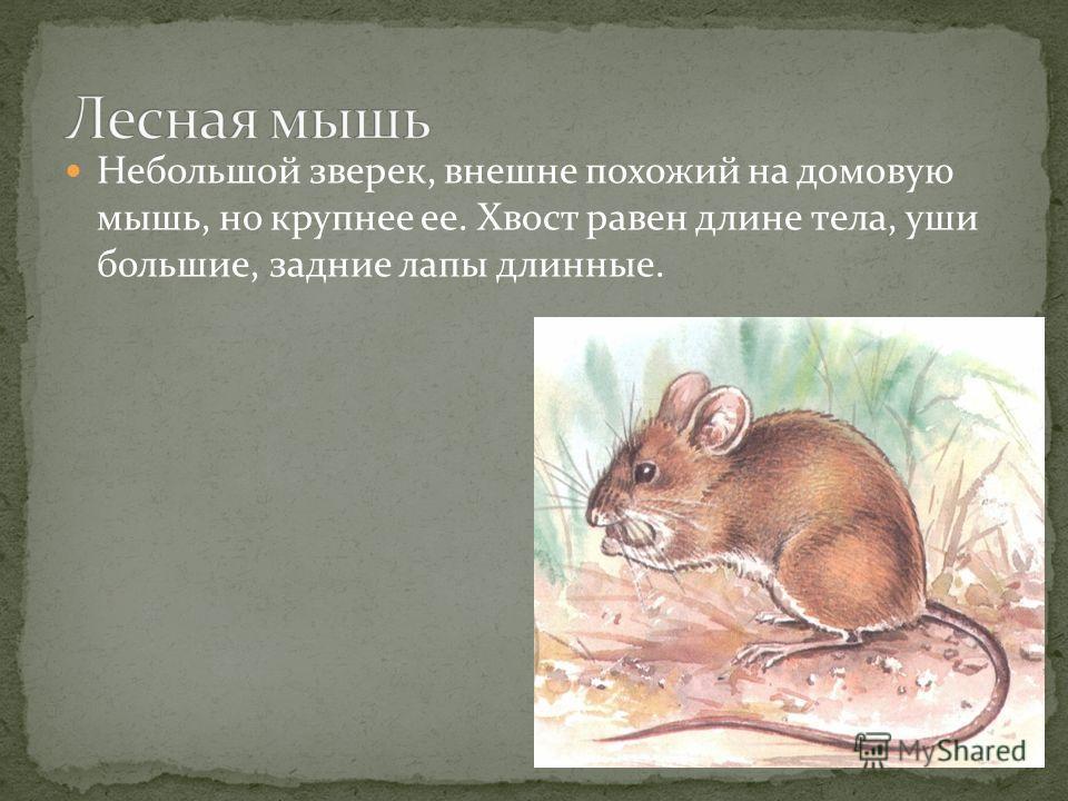 Небольшой зверек, внешне похожий на домовую мышь, но крупнее ее. Хвост равен длине тела, уши большие, задние лапы длинные.