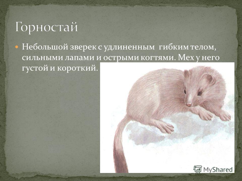 Небольшой зверек с удлиненным гибким телом, сильными лапами и острыми когтями. Мех у него густой и короткий.