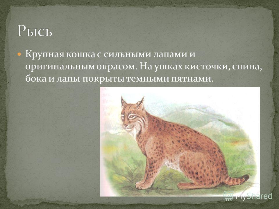 Крупная кошка с сильными лапами и оригинальным окрасом. На ушках кисточки, спина, бока и лапы покрыты темными пятнами.