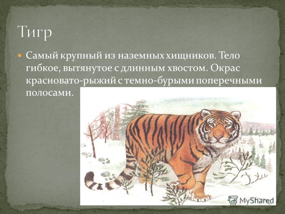 Самый крупный из наземных хищников. Тело гибкое, вытянутое с длинным хвостом. Окрас красновато-рыжий с темно-бурыми поперечными полосами.