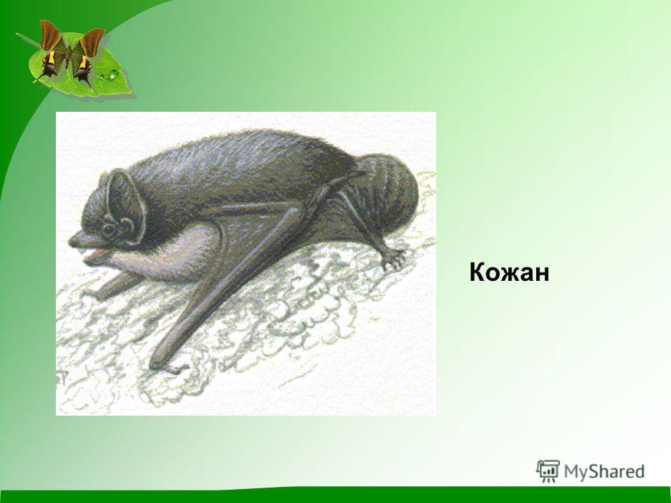 Кожан