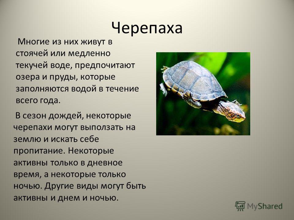 Черепаха Многие из них живут в стоячей или медленно текучей воде, предпочитают озера и пруды, которые заполняются водой в течение всего года. В сезон дождей, некоторые черепахи могут выползать на землю и искать себе пропитание. Некоторые активны толь