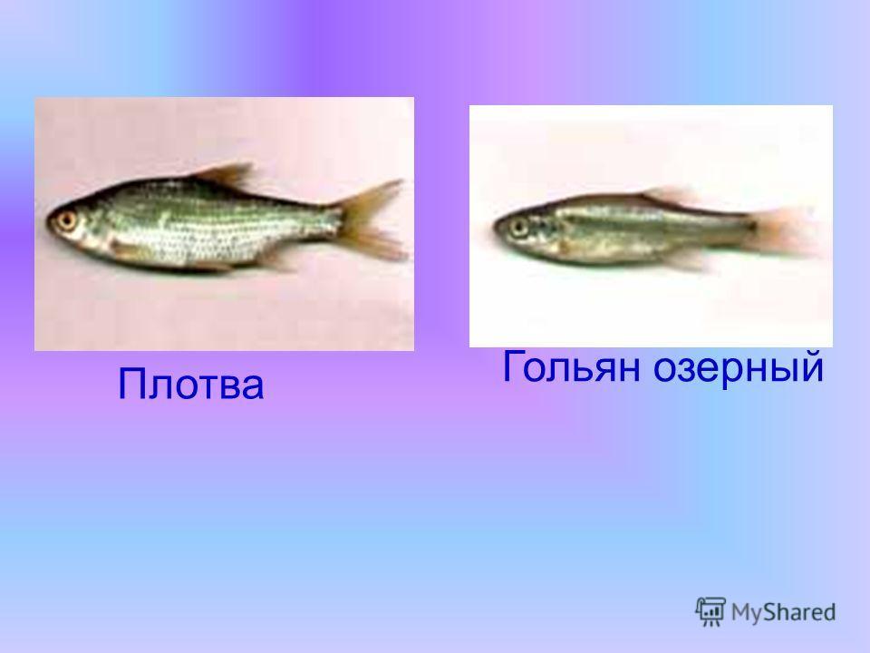 Плотва Гольян озерный