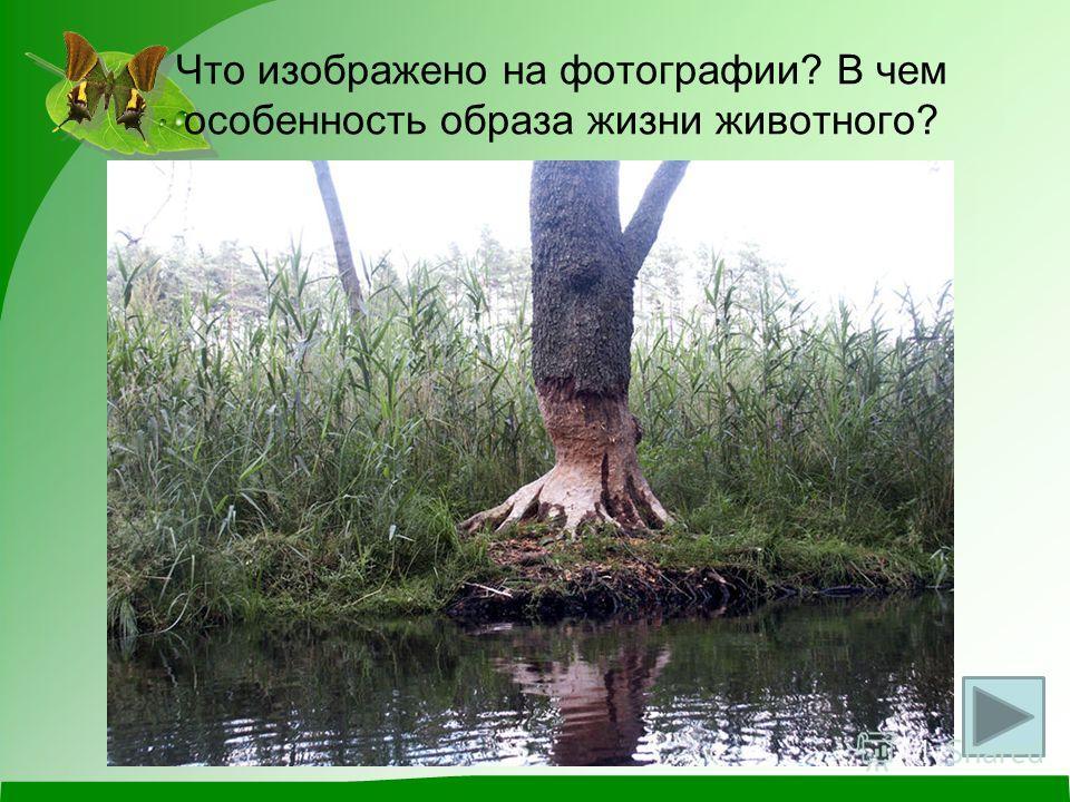 Что изображено на фотографии? В чем особенность образа жизни животного?
