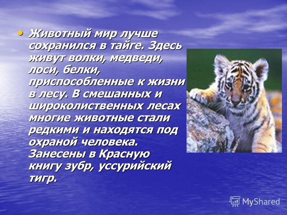 Животный мир лучше сохранился в тайге. Здесь живут волки, медведи, лоси, белки, приспособленные к жизни в лесу. В смешанных и широколиственных лесах многие животные стали редкими и находятся под охраной человека. Занесены в Красную книгу зубр, уссури