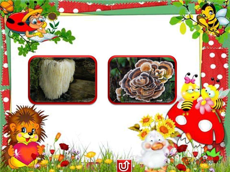 бородатый гриб хвост индейки