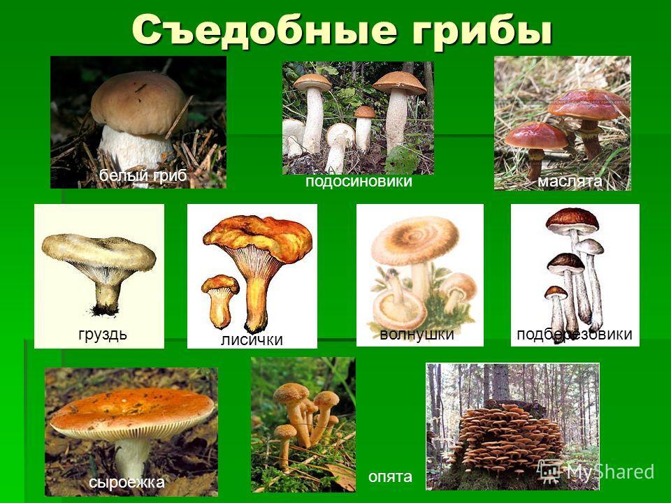 Съедобные грибы белый гриб подосиновикимаслята груздь лисички волнушкиподберёзовики опята сыроежка