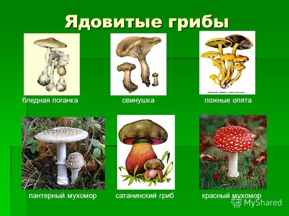Ядовитые грибы бледная поганкасвинушкаложные опята пантерный мухоморсатанинский грибкрасный мухомор
