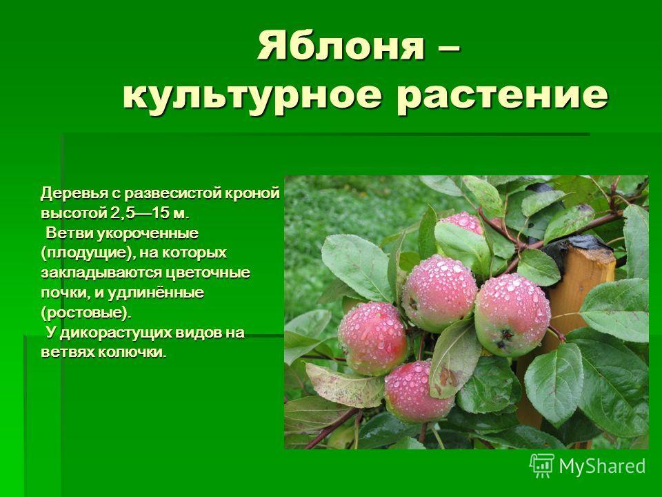 Яблоня – культурное растение Деревья с развесистой кроной высотой 2,515 м. Ветви укороченные (плодущие), на которых закладываются цветочные почки, и удлинённые (ростовые). У дикорастущих видов на ветвях колючки.
