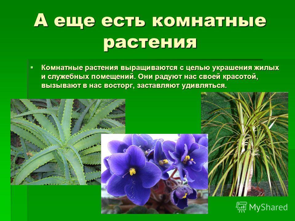 А еще есть комнатные растения Комнатные растения выращиваются с целью украшения жилых и служебных помещений. Они радуют нас своей красотой, вызывают в нас восторг, заставляют удивляться. Комнатные растения выращиваются с целью украшения жилых и служе