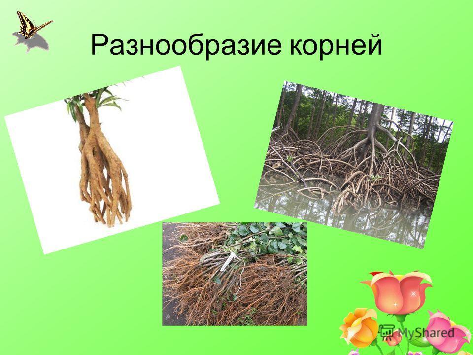 Разнообразие корней