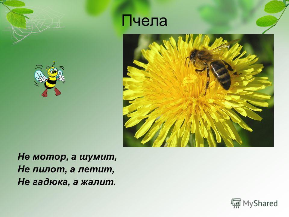 Пчела Не мотор, а шумит, Не пилот, а летит, Не гадюка, а жалит.