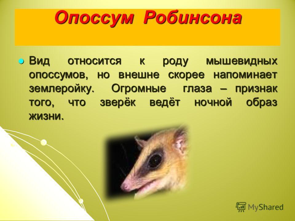 Опоссум Робинсона Вид относится к роду мышевидных опоссумов, но внешне скорее напоминает землеройку. Огромные глаза – признак того, что зверёк ведёт ночной образ жизни.