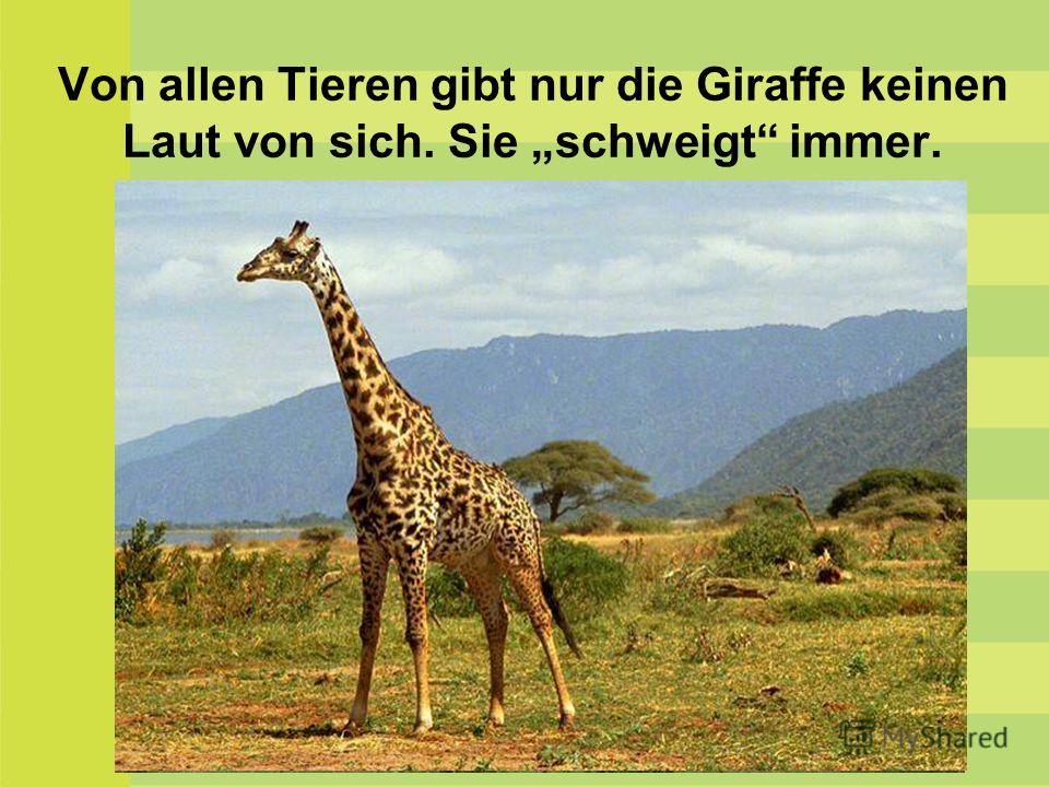 Von allen Tieren gibt nur die Giraffe keinen Laut von sich. Sie schweigt immer.