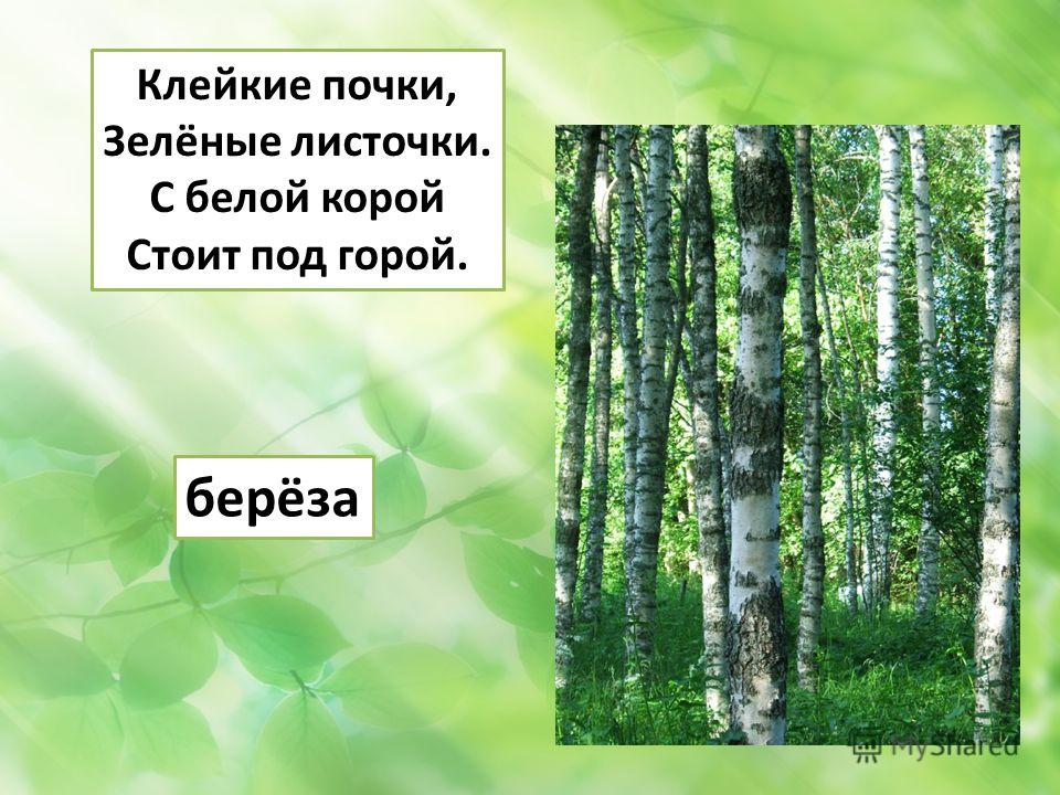 Клейкие почки, Зелёные листочки. С белой корой Стоит под горой. берёза