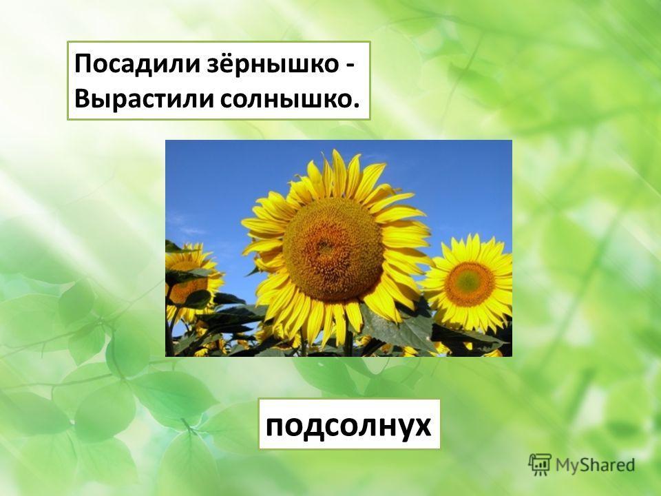 Посадили зёрнышко - Вырастили солнышко. подсолнух
