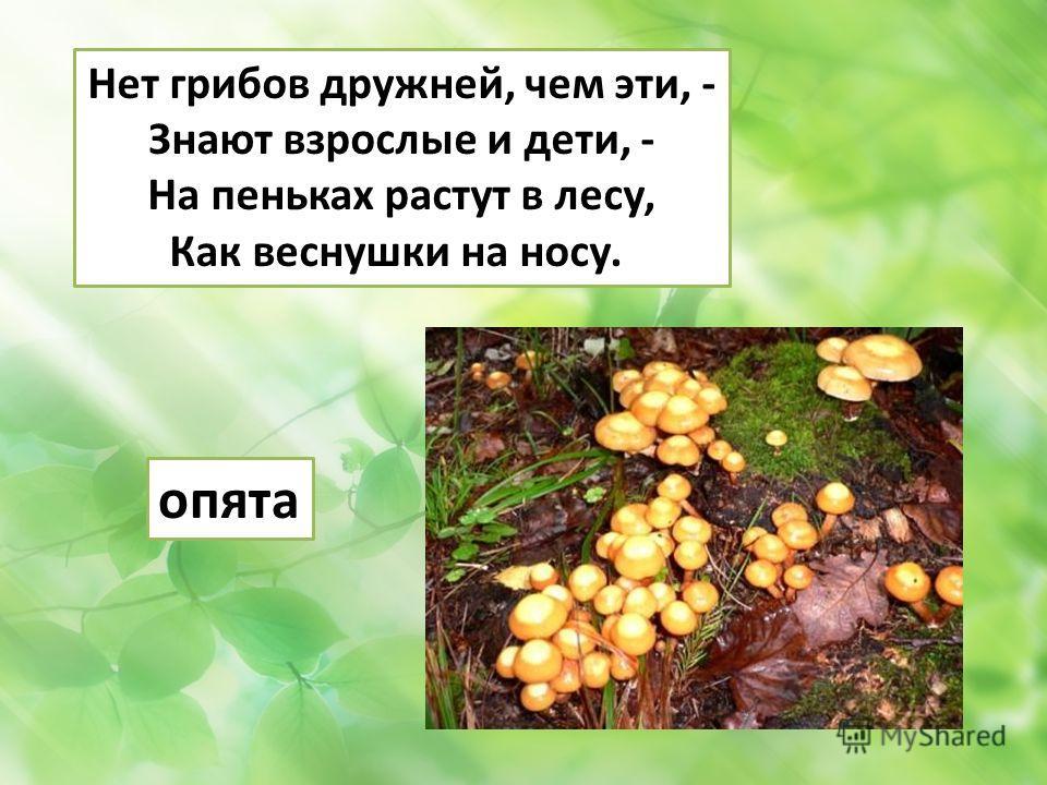 Нет грибов дружней, чем эти, - Знают взрослые и дети, - На пеньках растут в лесу, Как веснушки на носу. опята