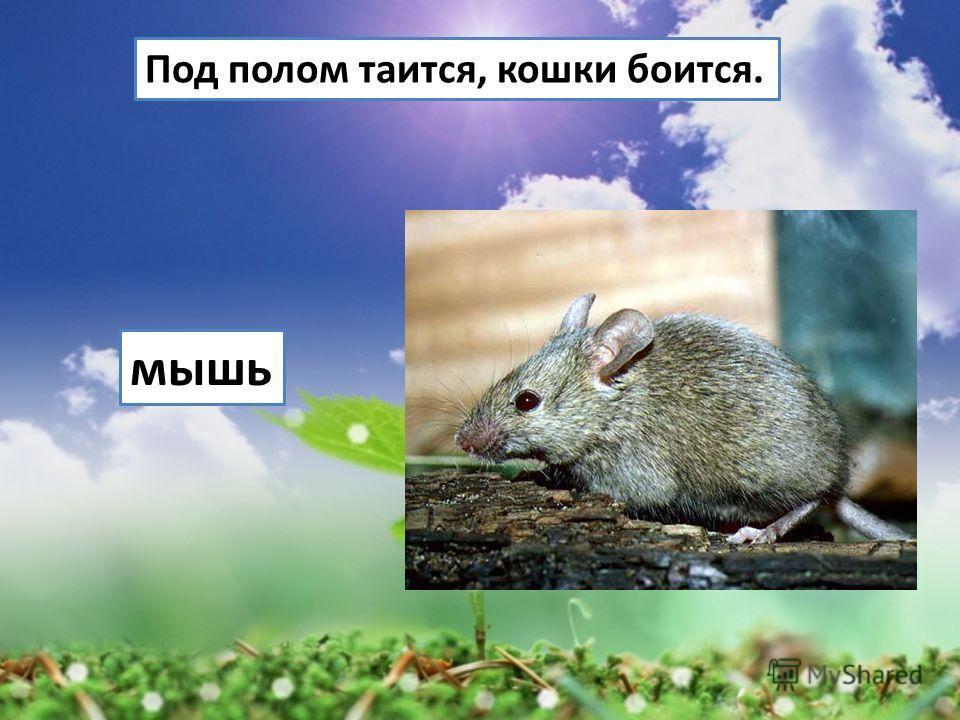 Под полом таится, кошки боится. мышь