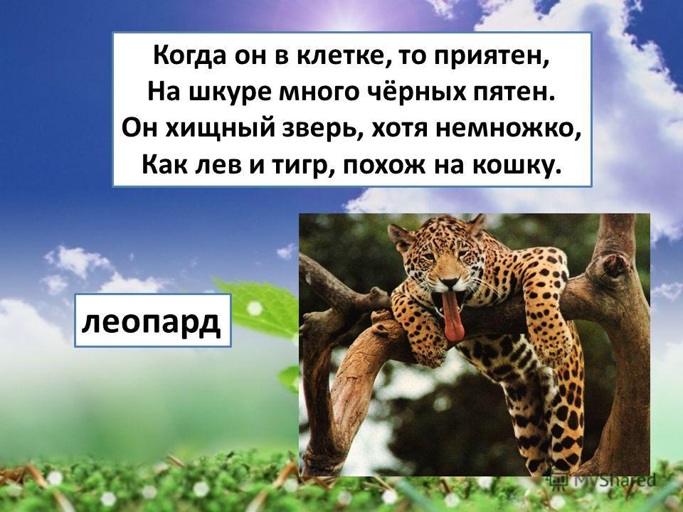 Когда он в клетке, то приятен, На шкуре много чёрных пятен. Он хищный зверь, хотя немножко, Как лев и тигр, похож на кошку. леопард