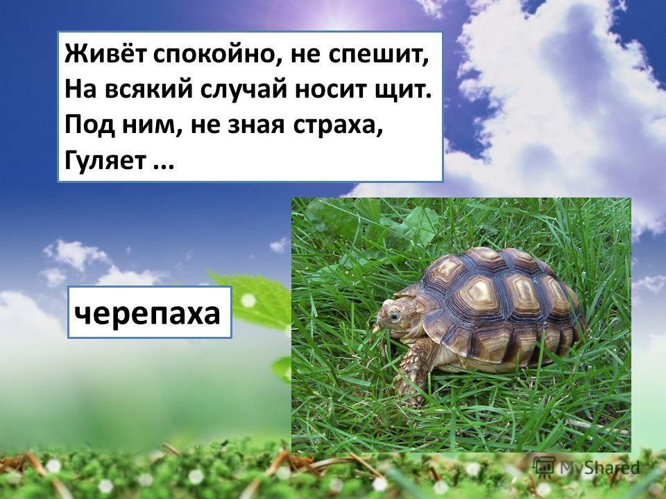 Живёт спокойно, не спешит, На всякий случай носит щит. Под ним, не зная страха, Гуляет... черепаха
