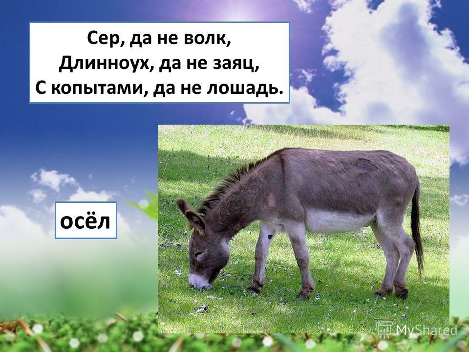 Сер, да не волк, Длинноух, да не заяц, С копытами, да не лошадь. осёл