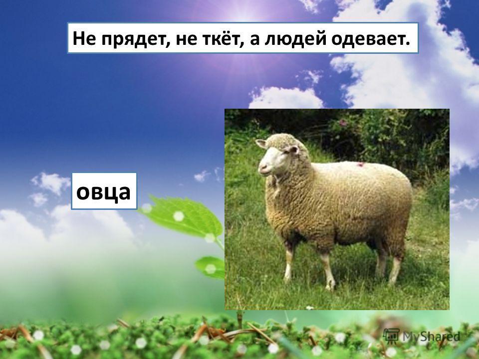 Не прядет, не ткёт, а людей одевает. овца
