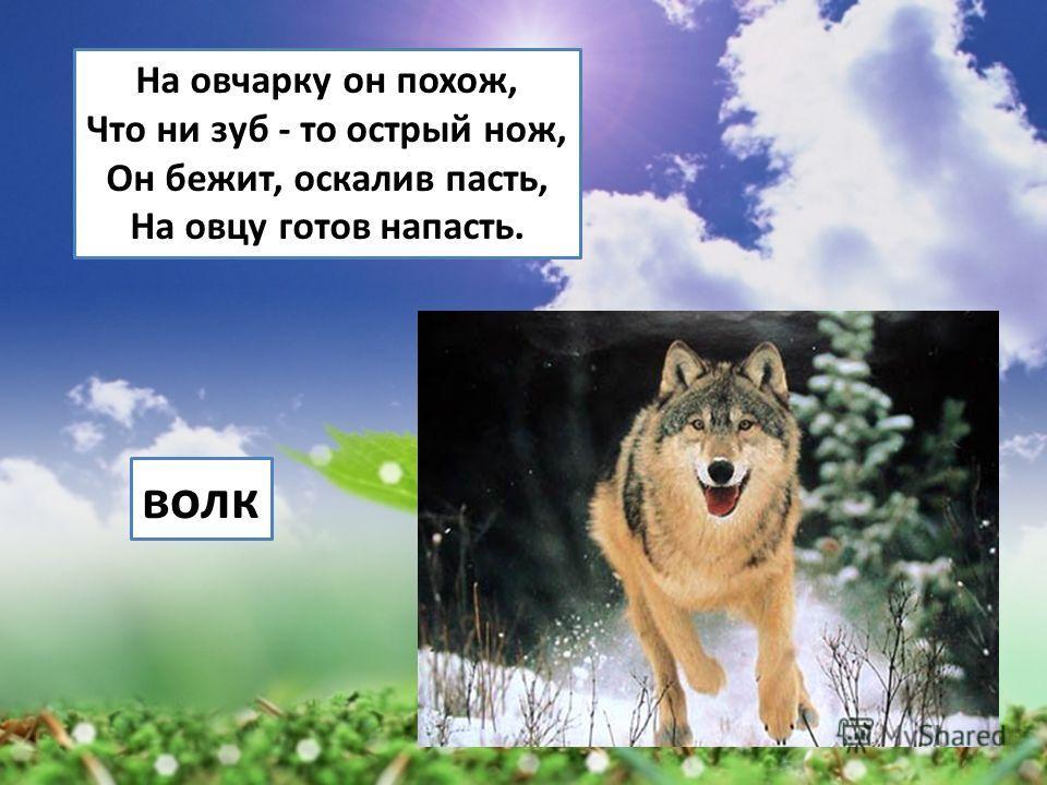 На овчарку он похож, Что ни зуб - то острый нож, Он бежит, оскалив пасть, На овцу готов напасть. волк