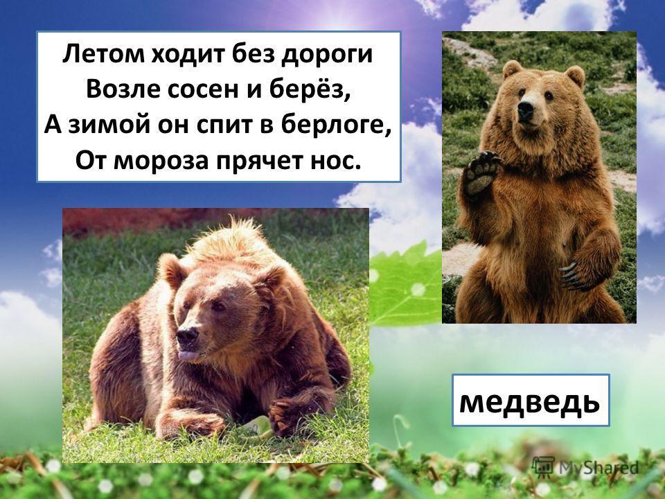 Летом ходит без дороги Возле сосен и берёз, А зимой он спит в берлоге, От мороза прячет нос. медведь