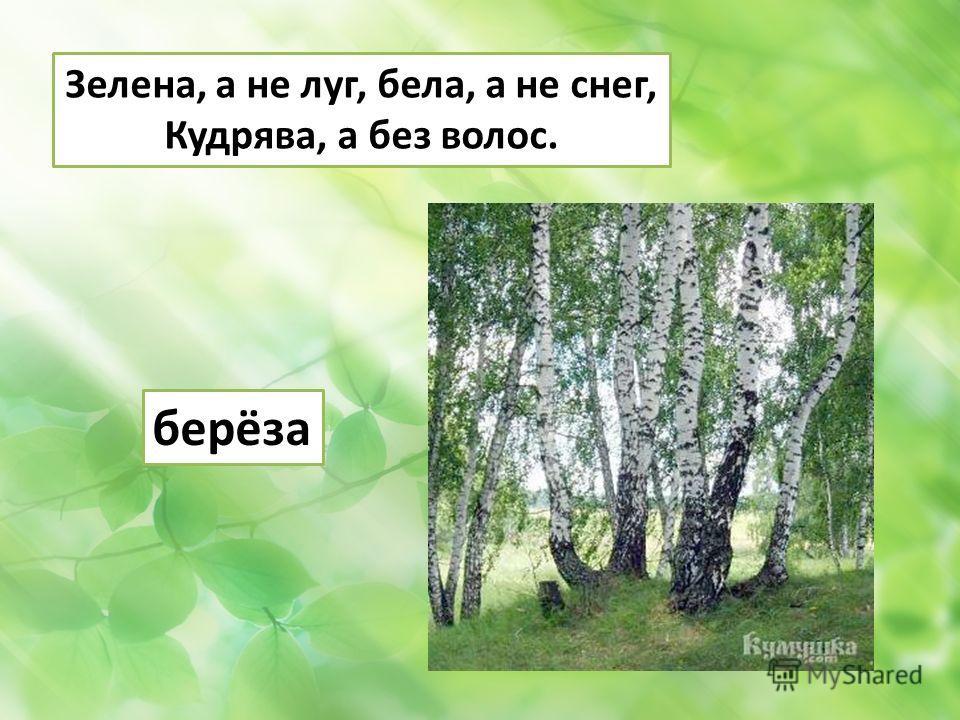 Зелена, а не луг, бела, а не снег, Кудрява, а без волос. берёза