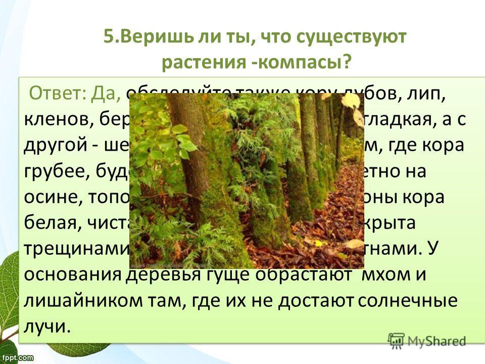 5. Веришь ли ты, что существуют растения -компасы? Ответ: Да, обследуйте также кору дубов, лип, кленов, берез. С одной стороны она гладкая, а с другой - шершавая, более темная. Там, где кора грубее, будет север. Хорошо это заметно на осине, тополе. У