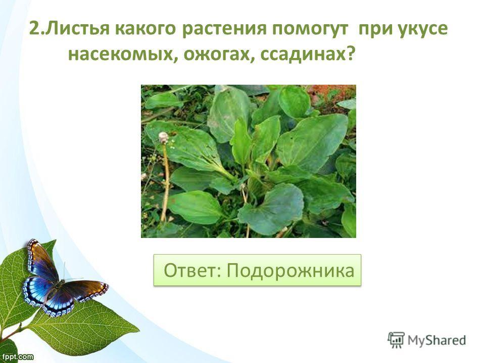 Ответ: Подорожника 2. Листья какого растения помогут при укусе насекомых, ожогах, ссадинах?