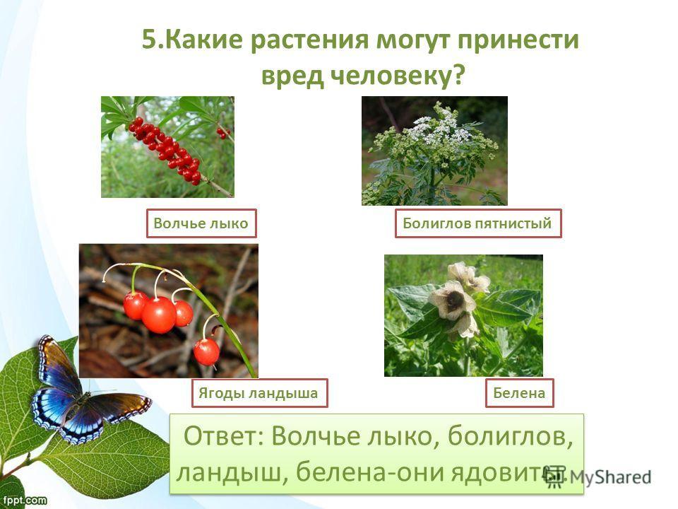 Ответ: Волчье лыко, болиглов, ландыш, белена-они ядовиты. Ответ: Волчье лыко, болиглов, ландыш, белена-они ядовиты. 5. Какие растения могут принести вред человеку? Волчье лыко Болиглов пятнистый Ягоды ландыша Белена