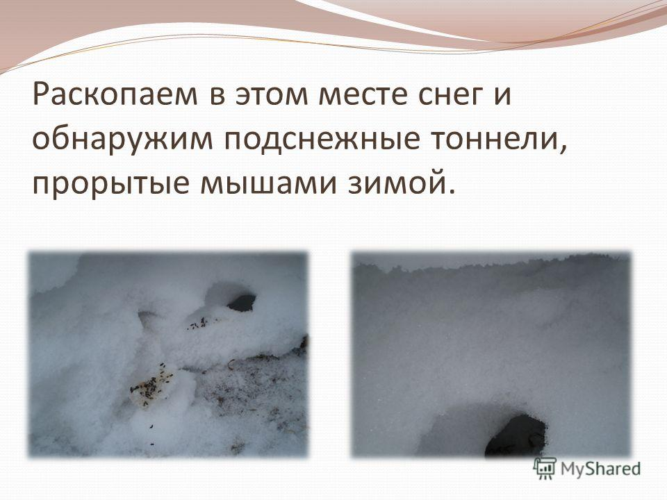 Раскопаем в этом месте снег и обнаружим подснежные тоннели, прорытые мышами зимой.