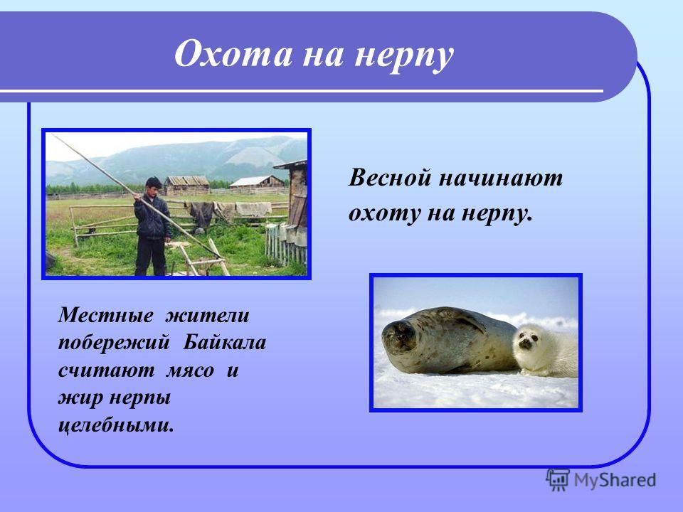 Охота на нерпу Весной начинают охоту на нерпу. Местные жители побережий Байкала считают мясо и жир нерпы целебными.