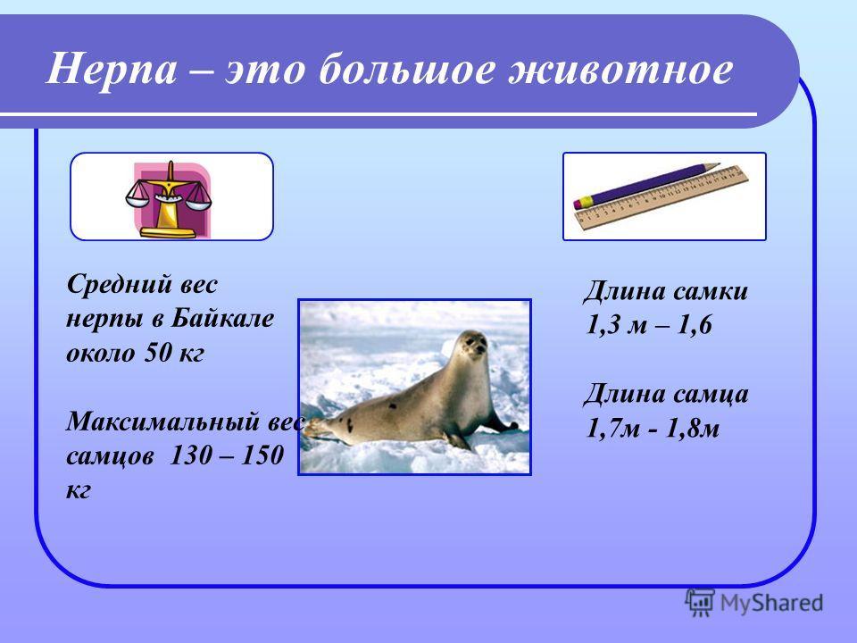 Нерпа – это большое животное Средний вес нерпы в Байкале около 50 кг Максимальный вес самцов 130 – 150 кг Длина самки 1,3 м – 1,6 Длина самца 1,7 м - 1,8 м