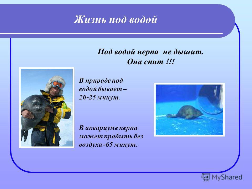 Жизнь под водой Под водой нерпа не дышит. Она спит !!! В аквариуме нерпа может пробыть без воздуха -65 минут. В природе под водой бывает – 20-25 минут.